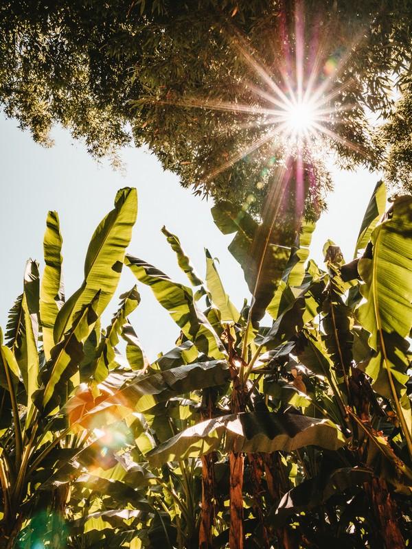 bananier au soleil