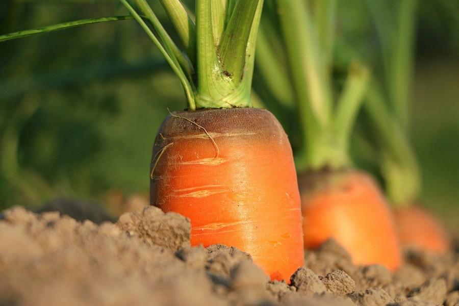 carottes dans la terre