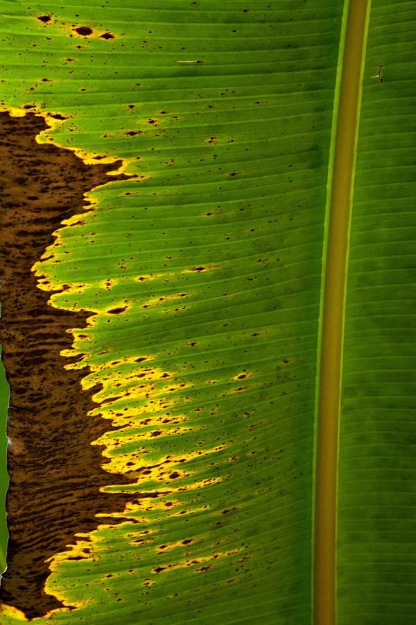 feuille de bananier abimée