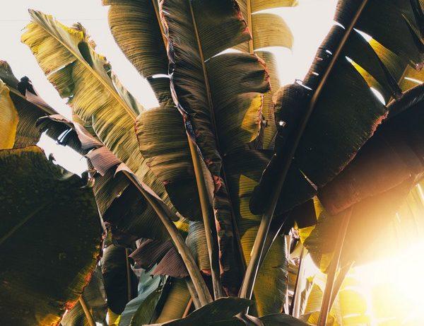 feuilles de bananier qui jaunissent