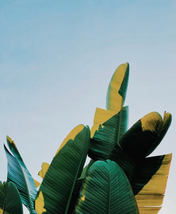 feuilles de bananier vertes