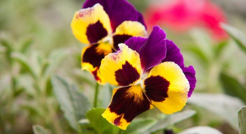 fleur de pensée sauvage dans un jardin