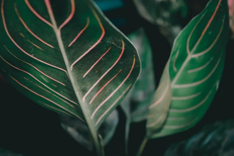 feuilles d'aglaonema