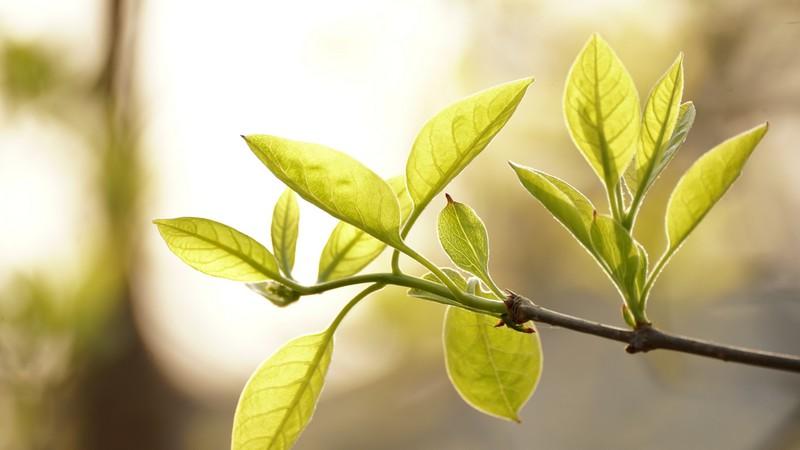feuilles d'arbre à thé